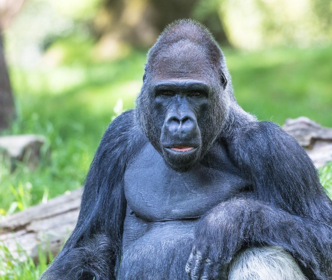 Gorilla Apenheul 2019