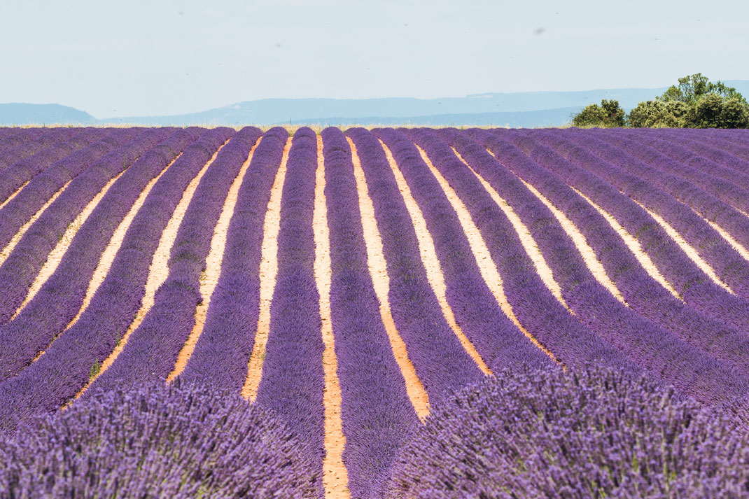 Lavendel fields at Valensole - France