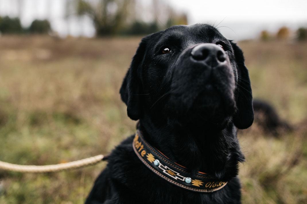 Bildstrecke mit Hundeschule Hundekompass Trainerin Anna Ostrowska Hundefotografie Berlin  schwarzer Labrador auf Herbstwiese