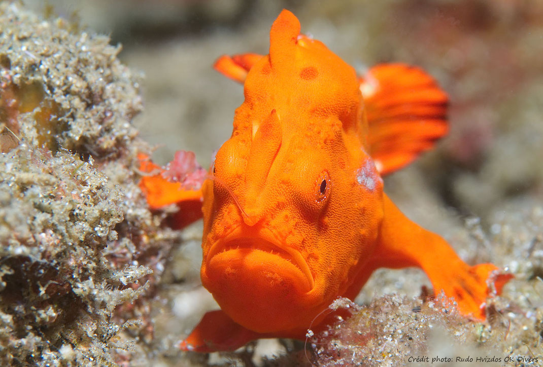 frogfish_plongee_bali_francophone_okdivers_padang_bai
