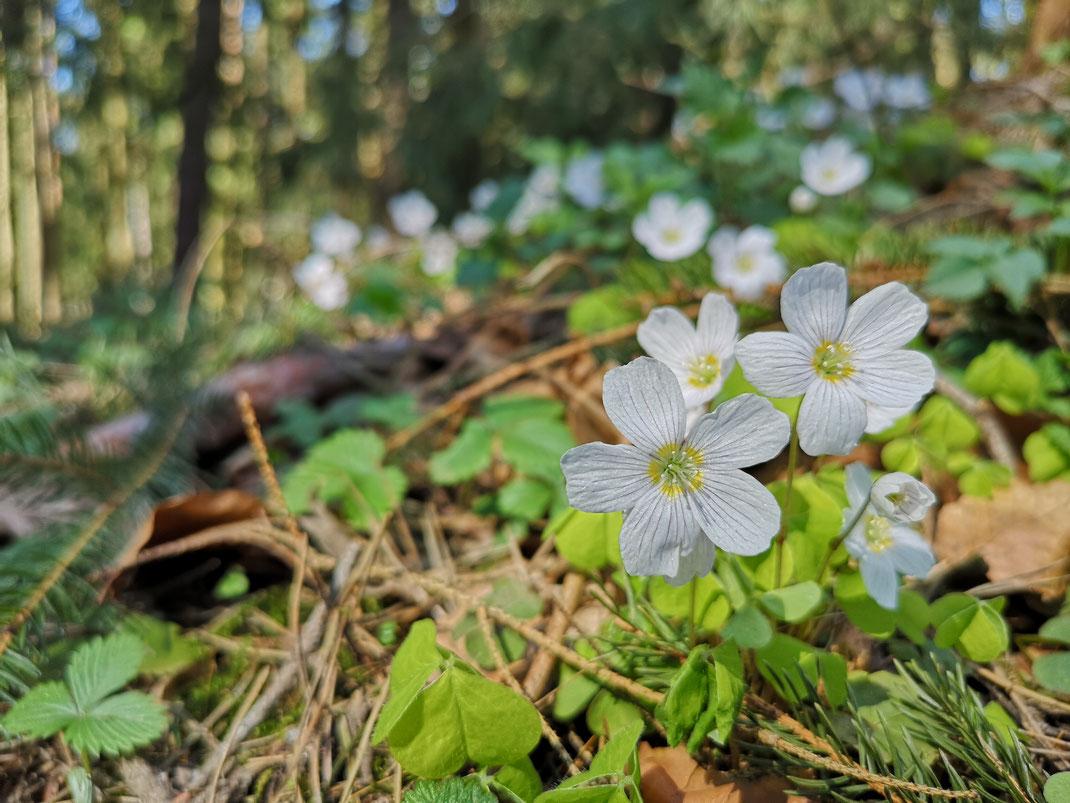 Waldsauerklee im April lässt den Kiefernmischwald weiß erblühen (Foto Michael Herzig)