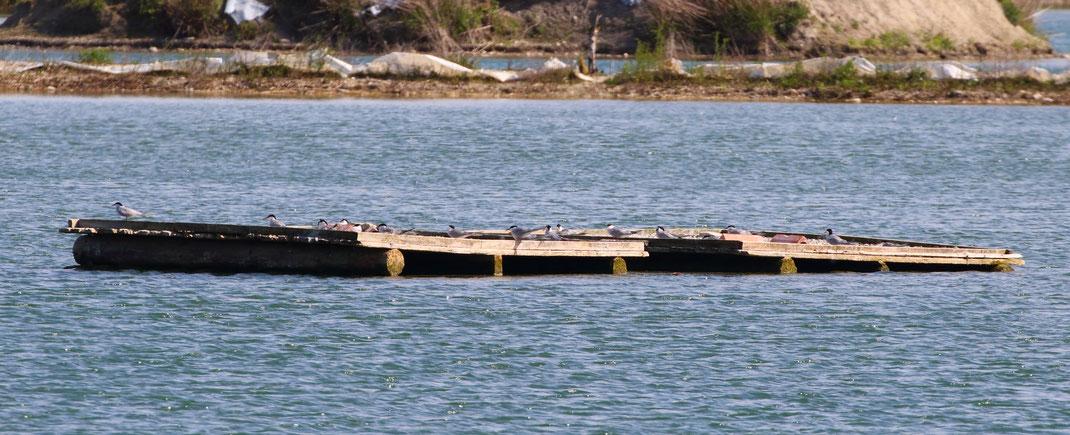 Das zusammen mit der Wasserwacht Dingofling gehobene Brutfloß wurde schon durch zahlreiche Flussseeschwalben besetzt (Foto Michi Herzig)