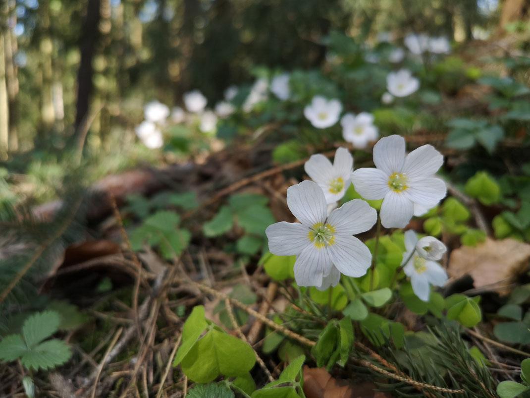 Frühlingserwachen im Wald (Waldsauerklee, Foto: Michael Herzig)