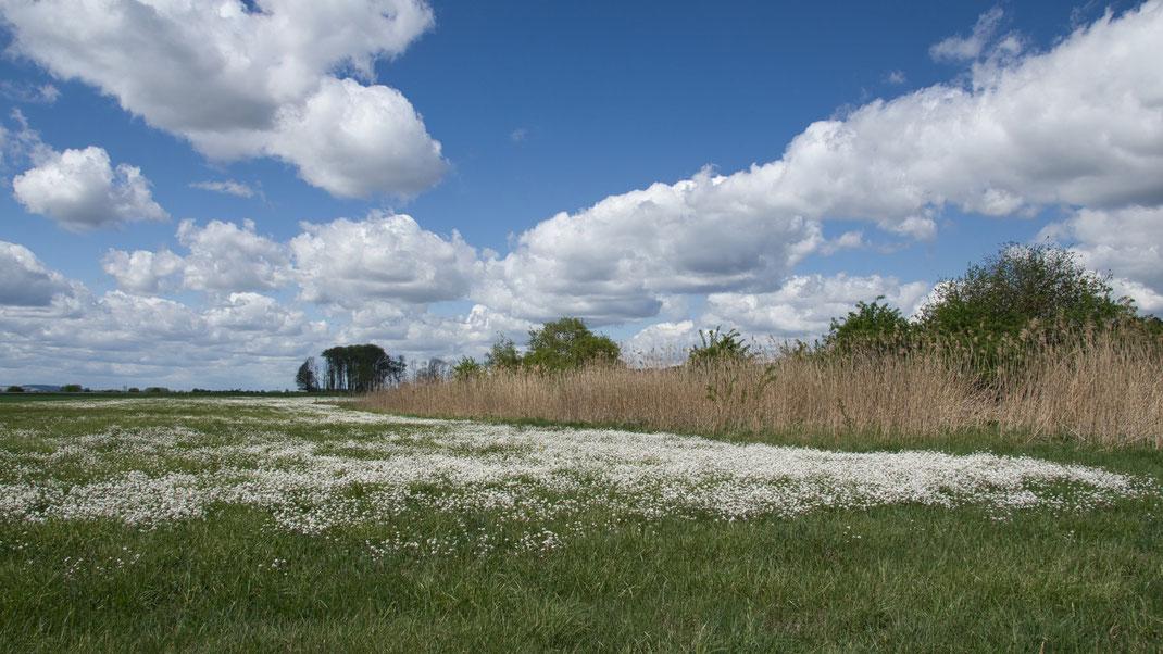 Das Königsauer Moos im Mai 2020 (Foto: Joachim Aschenbrenner). Die Idylle trügt. Die blühende Sand-Schaumkresse (auch Gänsekresse genannt) liebt trockene, sandige Standorte, was die Austrocknung des Niedermoorkörpers deutlich zeigt.