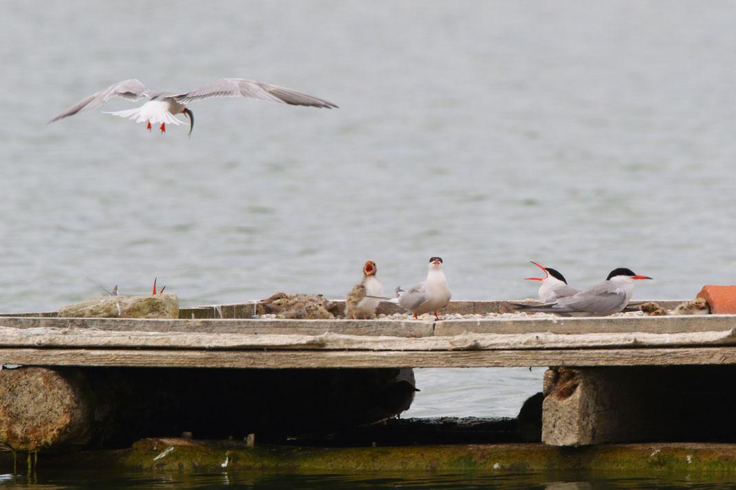 22 Flussseeschwalben-Küken konnten gezählt werden (Foto: Michael Herzig)