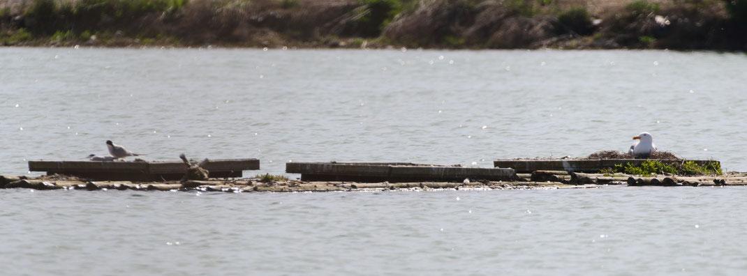 Das vom Vogelkot befreite und frisch aufgekieste Floß mit den Plattformen wurde wieder von einer Mittelmeermöwe besetzt, ein einzelnes Paar der Flussseeschwalbe scheint ebenfalls mit einer Brut zu starten (Foto: Michi Herzig)