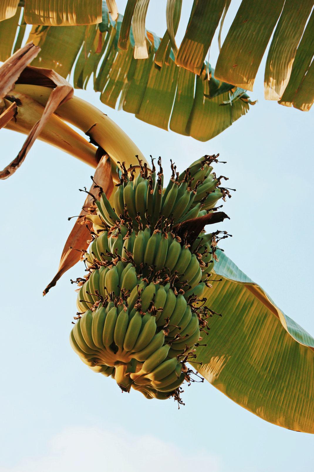 Majestic banana plant at Luam's garden at Koh Yao Noi Island, Thailand