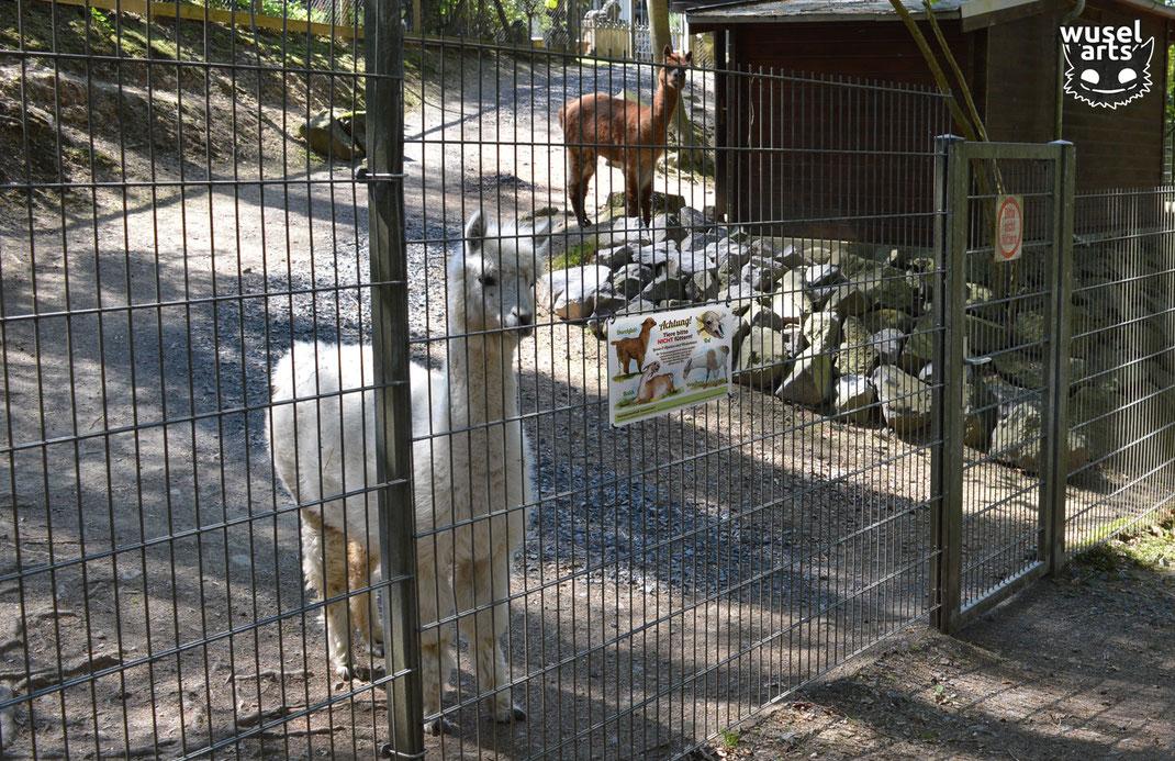 """""""Lamas und Alpakas bitte nicht füttern!"""" Schild am Zaun vom Alpaka Gehege befestigt - Folgen von falschem Futter führen zu schlimmen Krankheiten, Durchfall, Kolik, Vergiftung"""