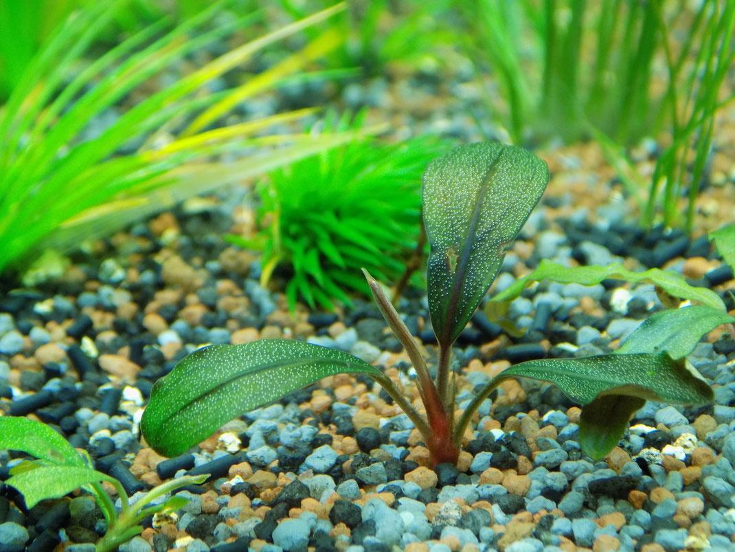 sorge f r ein gutes aquarium pflanzenwachstum n tzliche. Black Bedroom Furniture Sets. Home Design Ideas