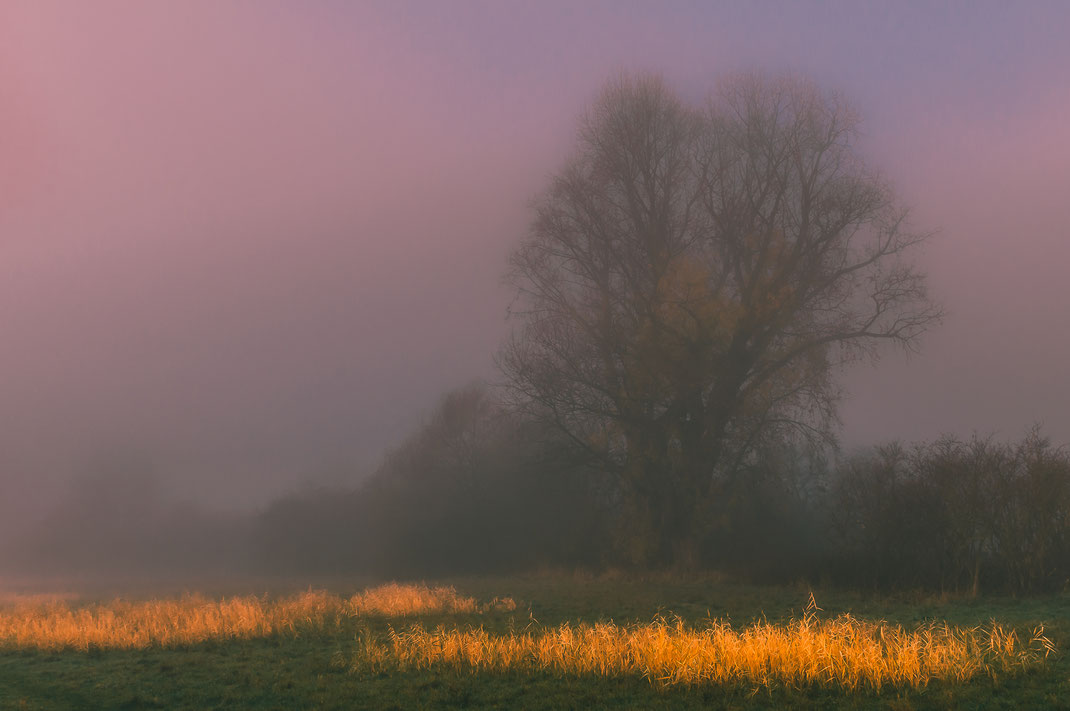 Einsamer Baum und Schilf-Teppich im Nebel kostenlos herunterladen