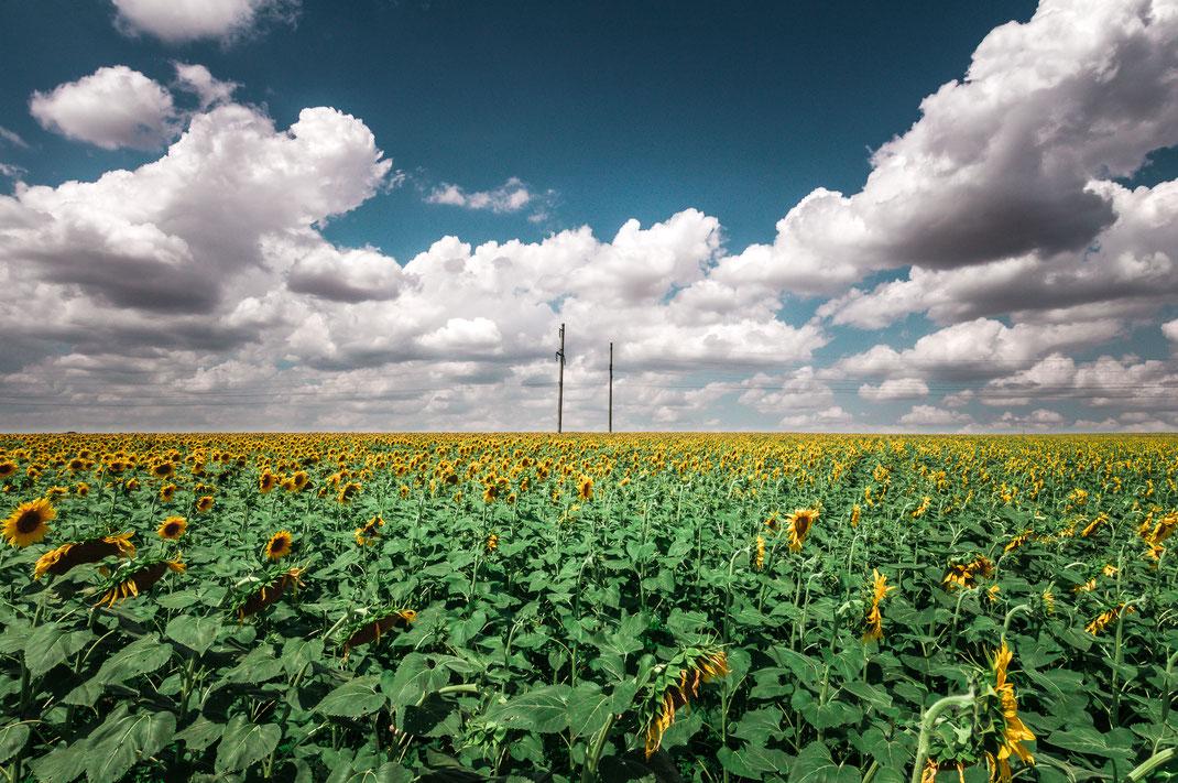 Unendliches Sonnenblumen Feld am Fuße zum Kaukasus Gebirge als Wandposter online kaufen oder lizenzfrei kostenlos herunterladen