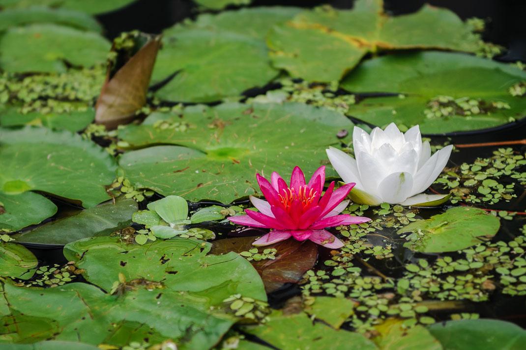 Purpur und weiße Wasserrose in voller Blüte im Garten-Teich