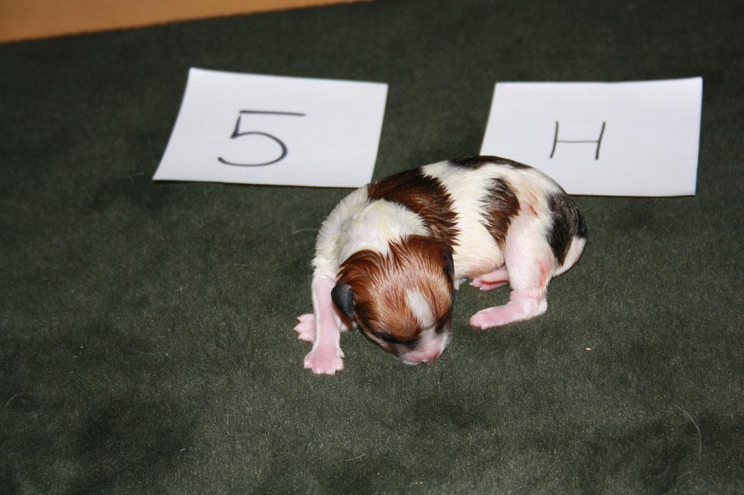 Nr. 5 - eine Hündin - 252 gr