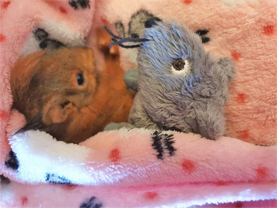 Eichhoernchen Tierwaisen: Was ist zu tun, wenn ich ein Eichhörnchenbaby finde_eichhoernchen-futterhaus.de