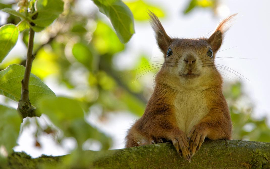 Eichhörnchen sitzt auf einem Ast und schaut zufrieden zu seinem gefüllten Eichhörnchen-Futterhaus.