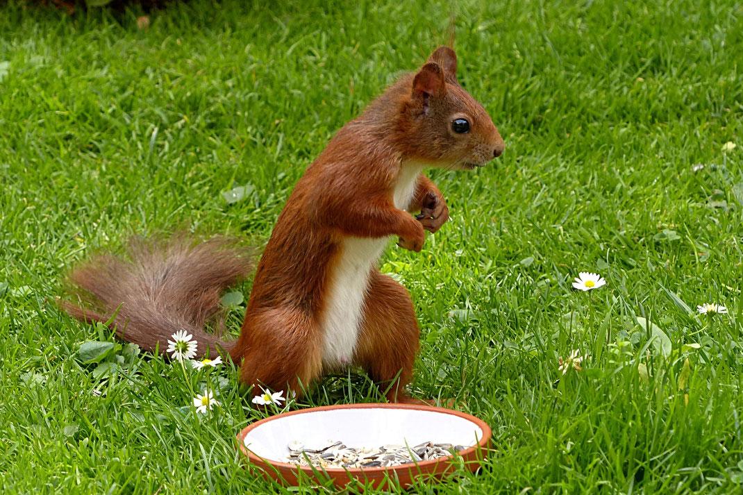 Eichhörnchen Steckbrief vom Eichhörnchen Futterhaus