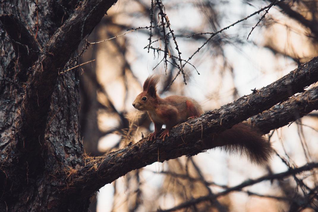 Rückführung der Eichhörnchen-Kinder: Wie kann geholfen werden_eichhoernchen_futterhaus.de