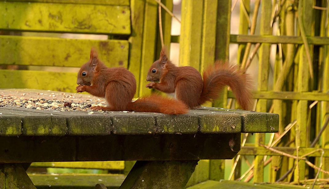 Eichhoernchen-Futterhaus: Eichhörnchenpaar schreddert Nüsse