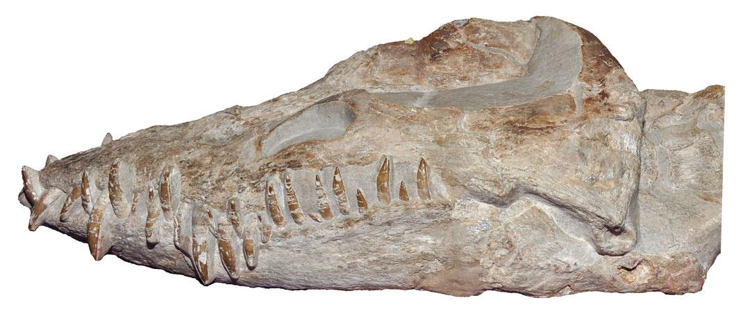 Libonectes atlasense skull