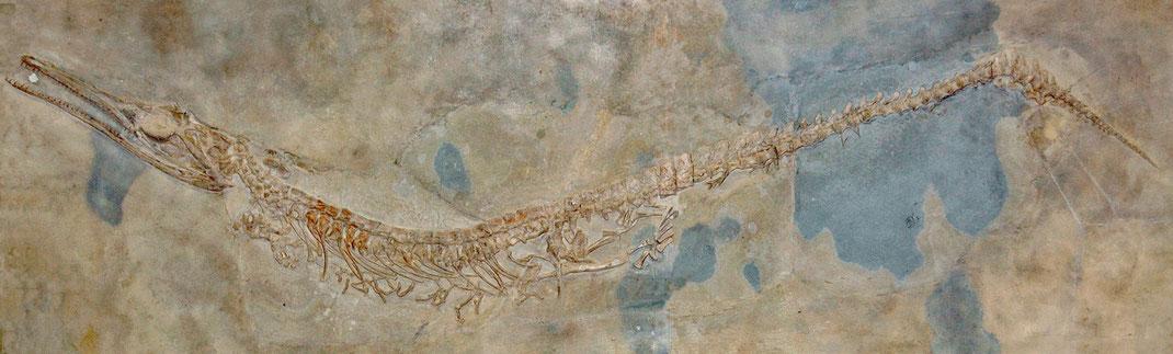 Cricosaurus suevicus lectotype