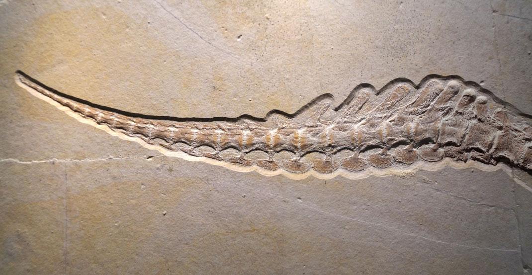 Tail fluke of Cricosaurus bambergensis