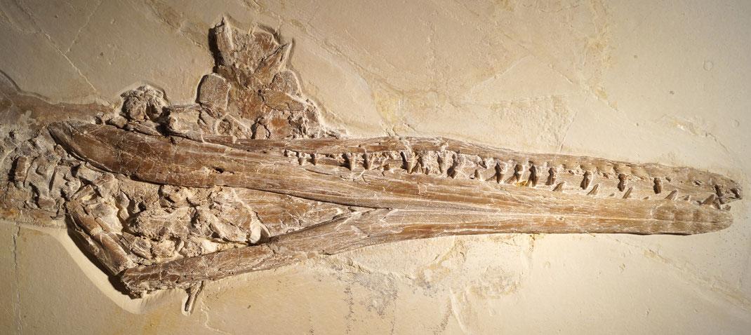 Cricosaurus bambergensis skull