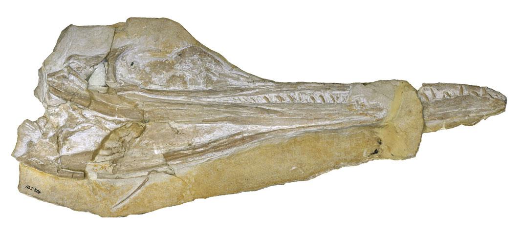 Skull of Cricosaurus elegans in ventral view