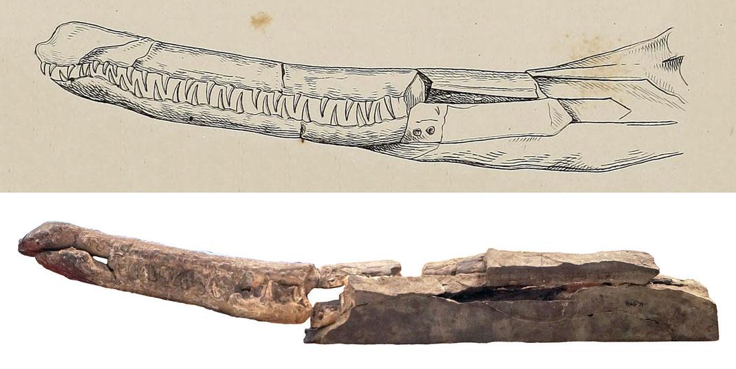 Mystriosaurus laurillardi Schädel in Seitenansicht