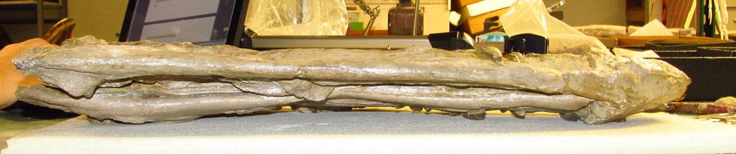 Styxosaurus snowii skull in ventral view