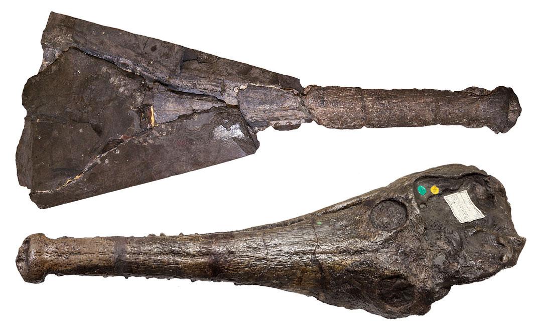 Mystriosaurus Schädel von oben gesehen