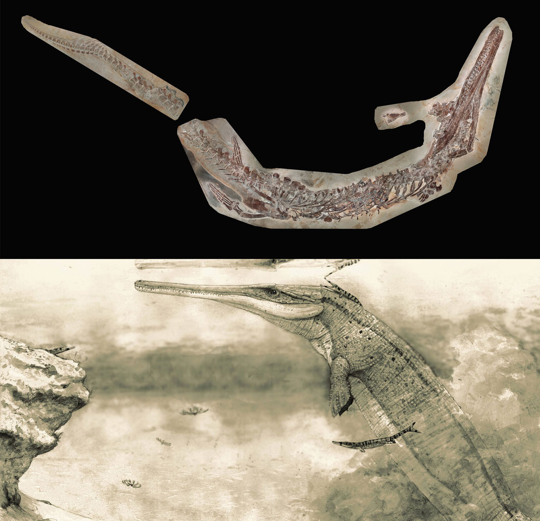 Cricosaurus bambergensis new species