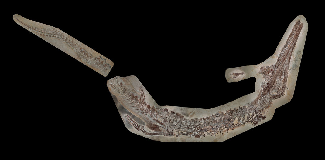Skeleton of Cricosaurus bambergensis
