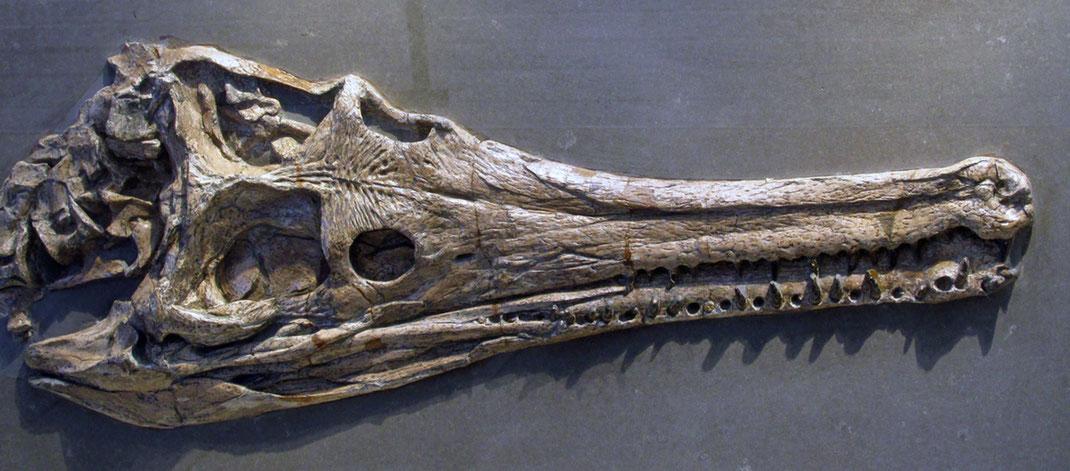 Teleosaurid skull Holzmaden