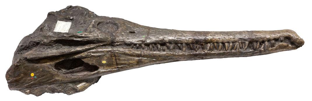 Schädel von Mystriosaurus (vormals Steneosaurus brevior) in Seitenansicht