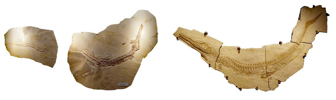 Cricosaurus skeletons Solnhofen limestone Altmühltal