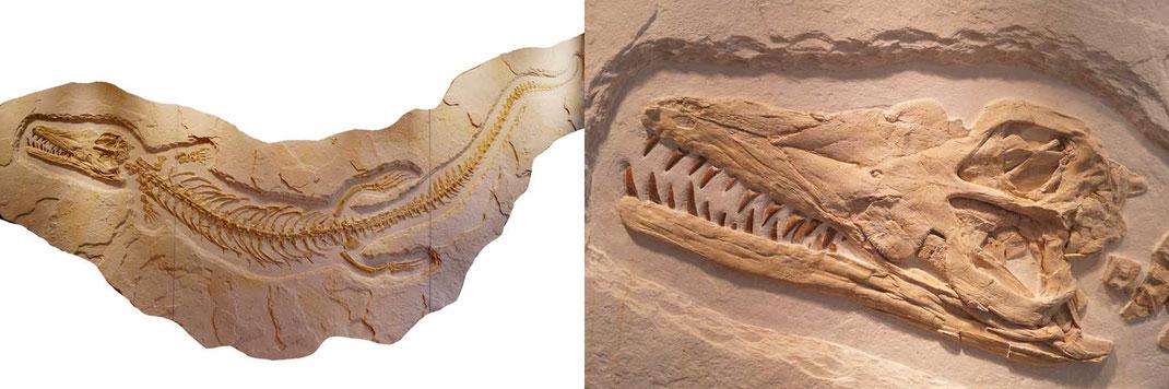 Dakosaurus maximus skull skeleton Solnhofen