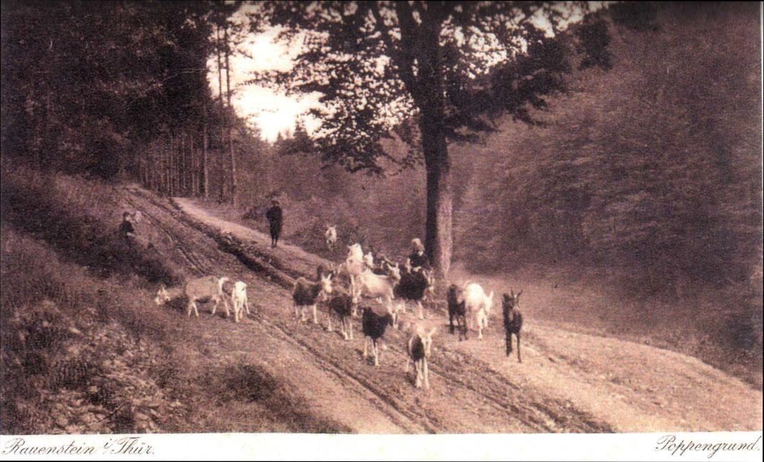 Ziegenherde im Poppengrund um 1900