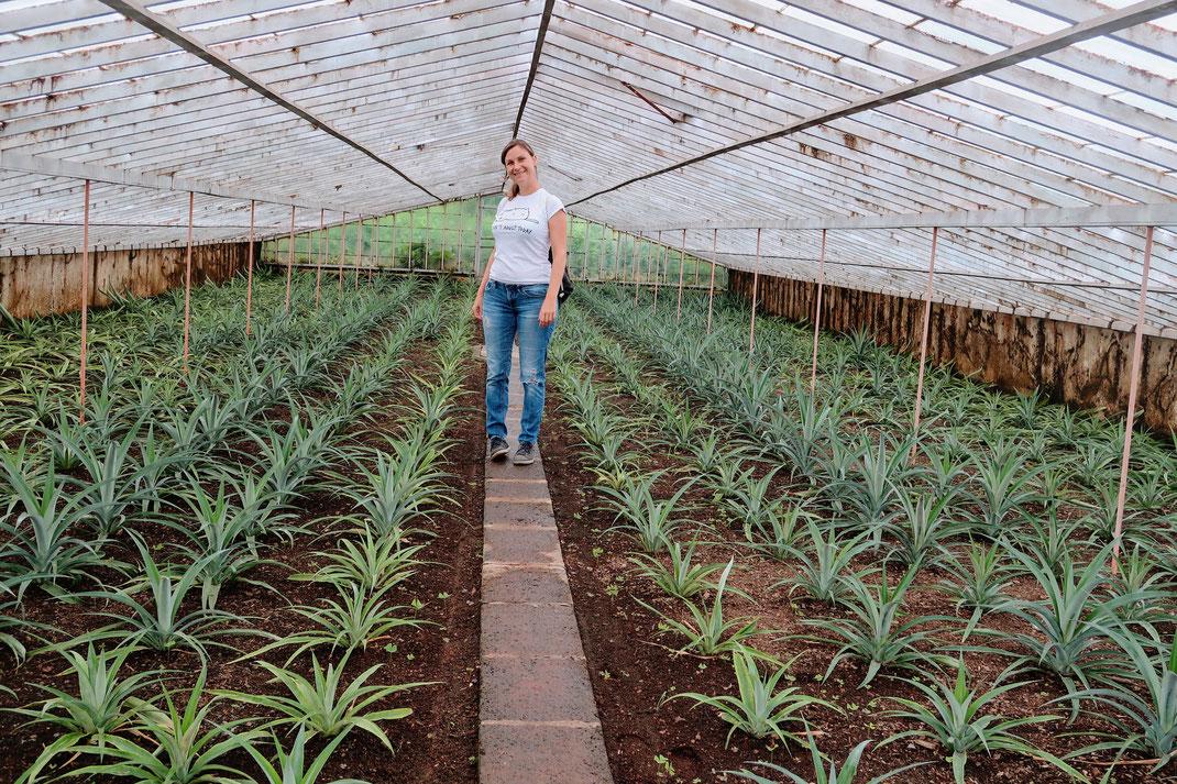Ananasplantage Augusto Arruda auf Sao Miguel