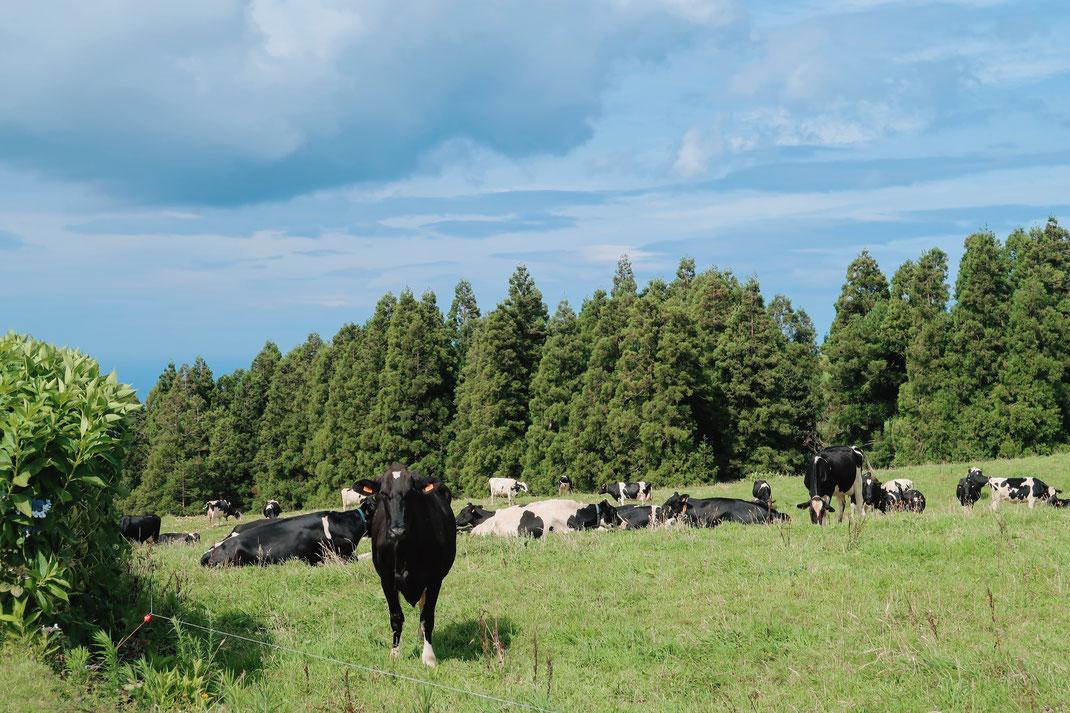 glückliche Kühe auf Sao Miguel