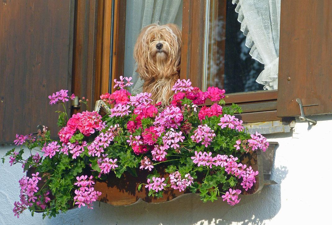 Hund mit Geranien am Fenster