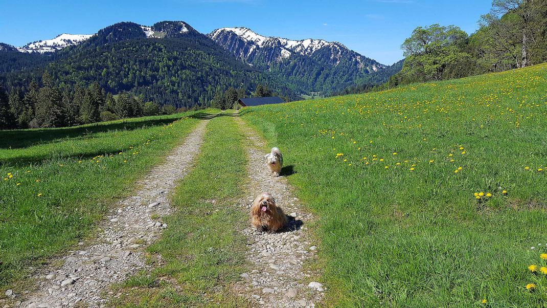 Hunde vor Bergen mit Löwenzahn