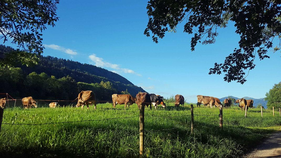 Kühe vor den Bergen