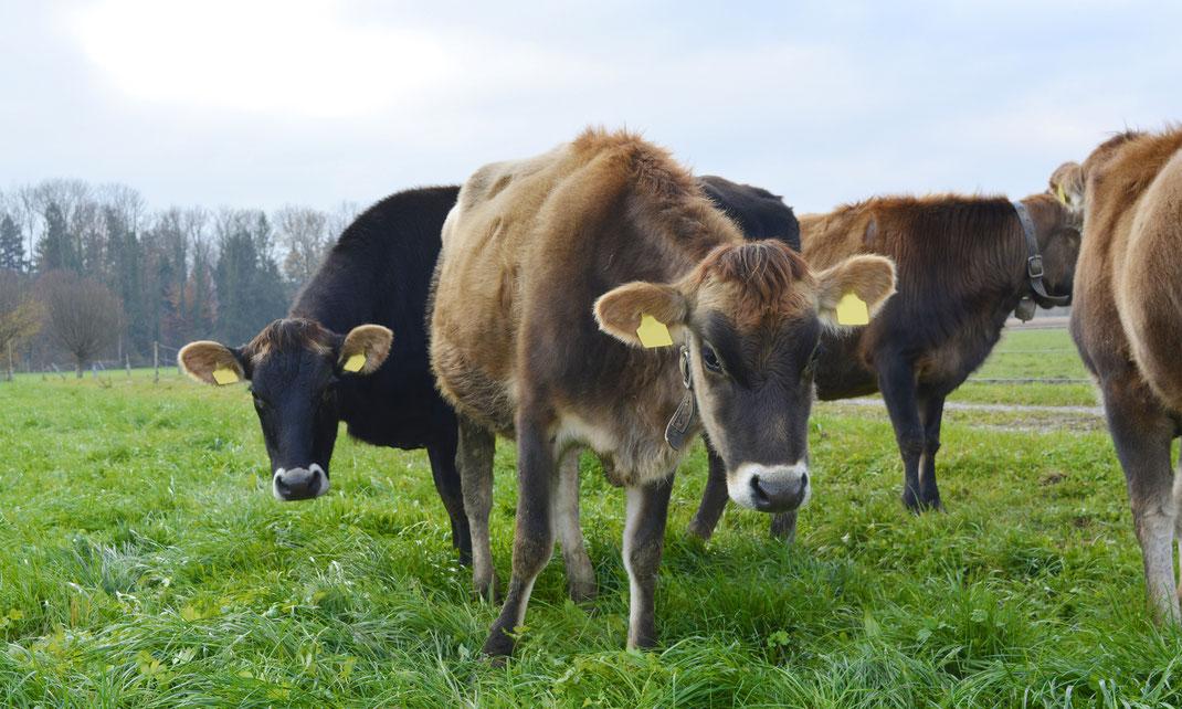 Jersey Kühe Drälikon Hünenberg