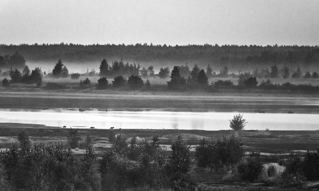 Die erste Wolfsbeobachtung meines Lebens: 7 Welpen vor Sonnenaufgang (nur 4 davon sind auf dem schlechten Foto zu erkennen), Lausitz, August 2019
