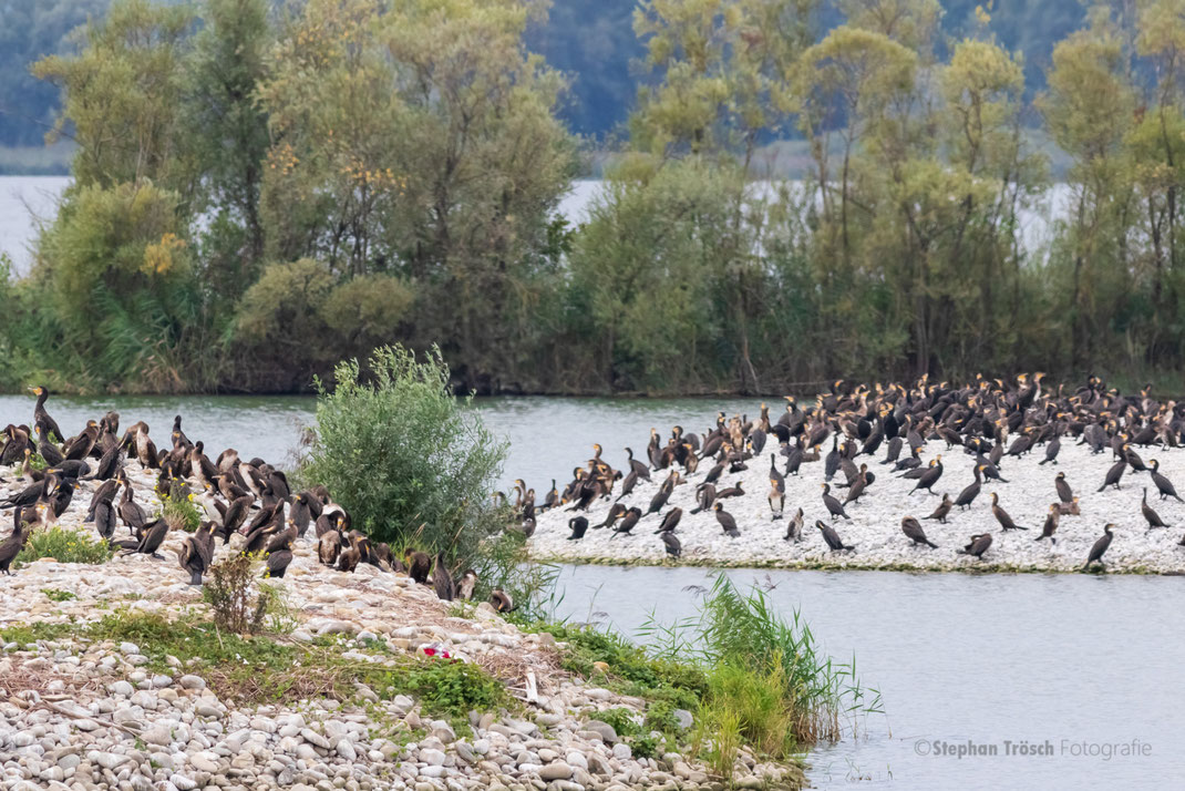 Knapp 1200 Kormorane hielten sich am 01.09. in der Lagune auf, eine sehr hohe Zahl, wie sie typischerweise im Herbstzug vorkommt (Foto: Stephan Trösch)