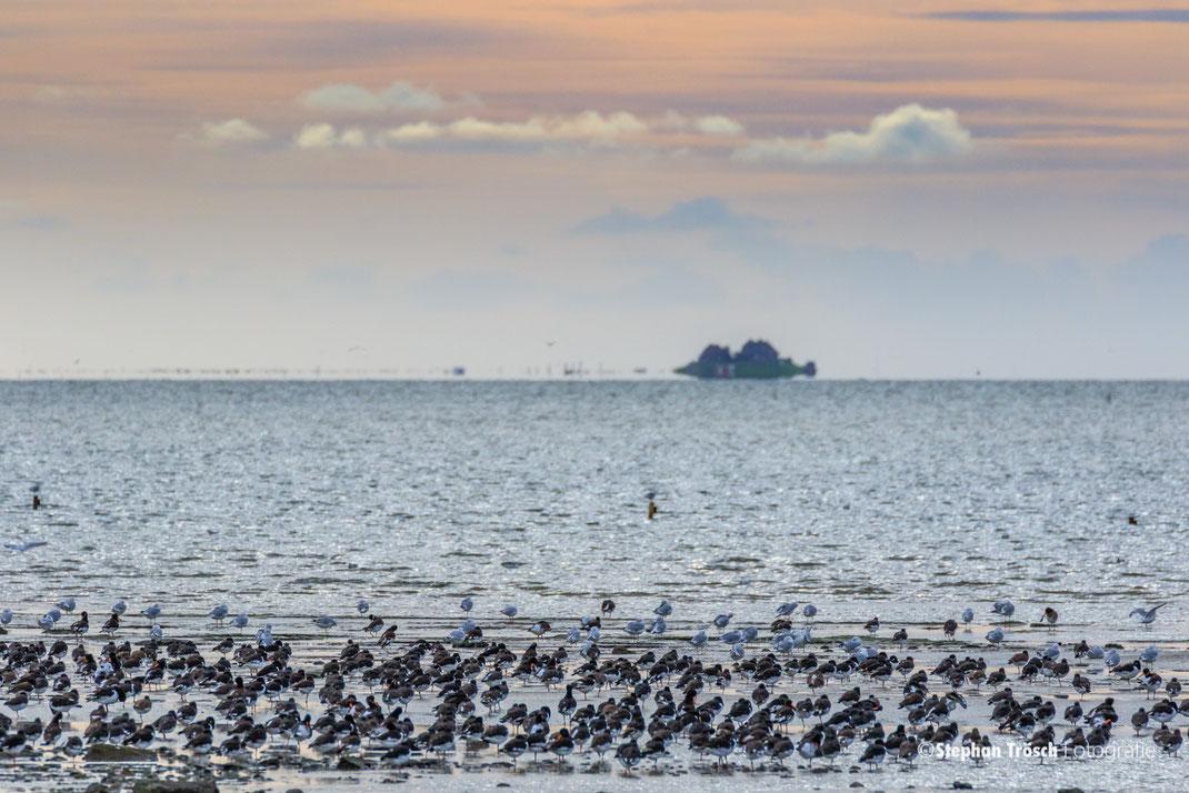 Ruhende Austernfischer auf Nordstrand; im Hintergrund die Hallig Südfall