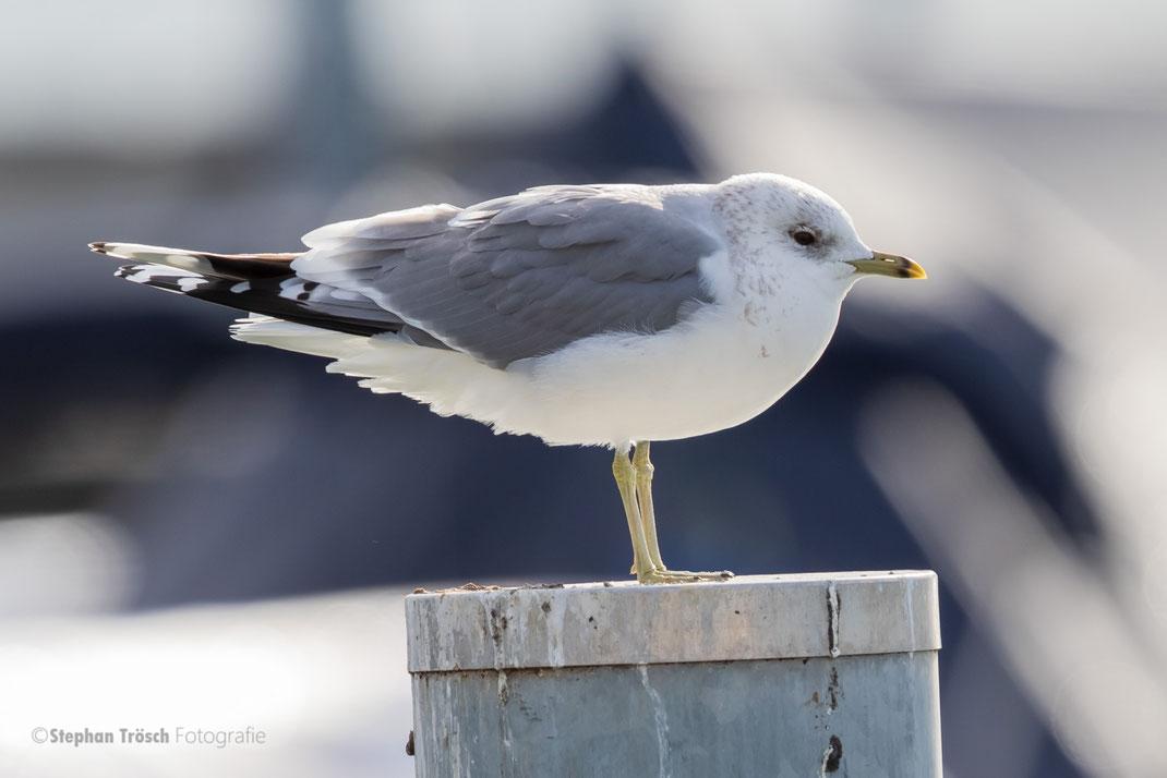 Sturmmöwe (adult), 09.02.2019, Hafenbecken Romanshorn TG | Foto Stephan Trösch