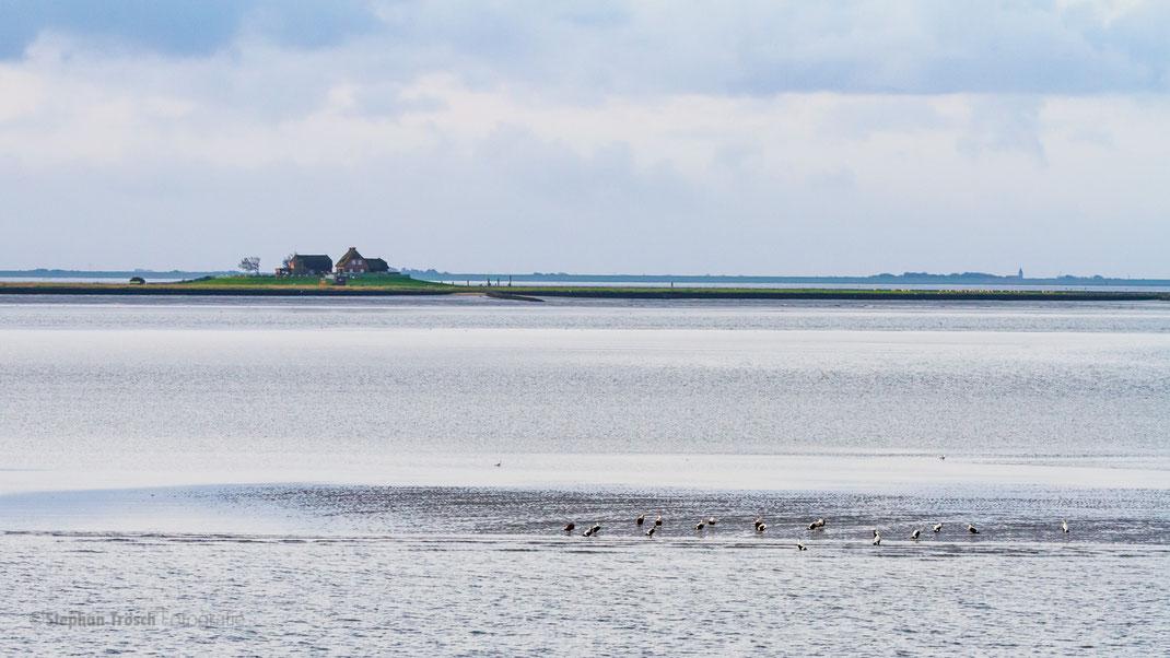 """Auf der Überfahrt von Nordstrand zur Insel Pellworm passiert man die berühmte """"Hallig Südfall"""" und bei Ebbe auf Sandbänken Robben und Eiderenten"""