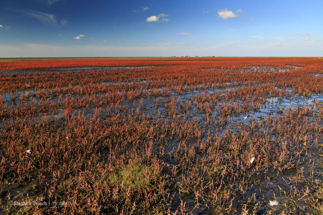 """Im Beltringharder Koog finden sich grossflächige Landstücke mit der Salz liebenden Pflanze """"Queller"""", die in ihrer Herbstfarbe Rot die Landschaft prägt"""