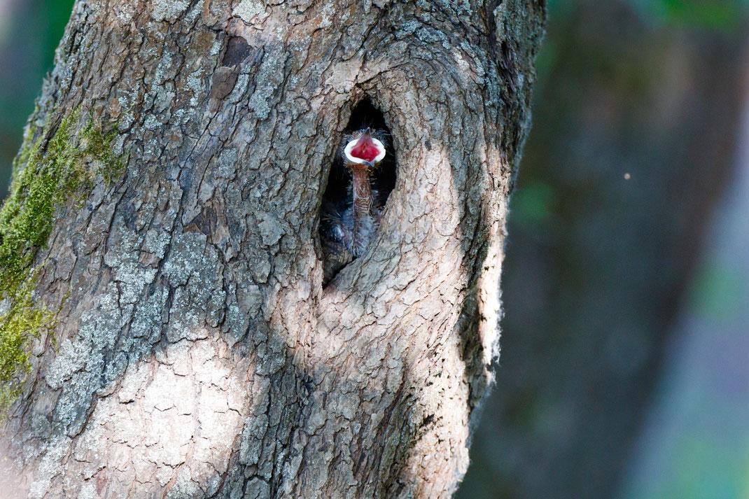 Ein Wiedehopf im Nest. © Wassiliy Vishnevskiy, iStockphoto